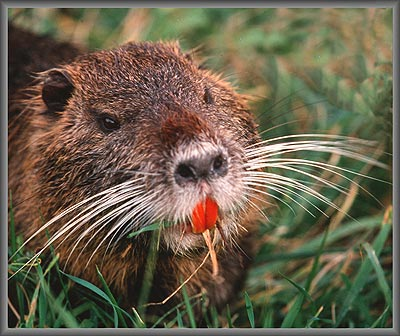 What Are Nutria?